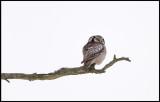 Northern Hawk Owl (Hökuggla) - Rockneby