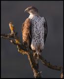 Female Bonelli`s Eagle (Hona hökörn)