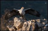 Female Bonell`s Eagle (Hona Hökörn)