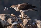 Male Bonelli`s Eagle eating a pigeon (Hökörn plockar en duva)