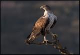 Female Bonelli`s Eagle (Hona hökörn) - Spain