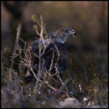 Female Bonelli`s Eagle feeding on the ground (Hona hökörn)