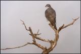 Adult Goshawk (Adult Duvhök)