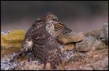 Immature Goshawk protecting it´s prey (Duvhök skyddar byte) - Spain