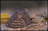 Immature Goshawk protecting it´s prey (Duvhök skyddar byte)
