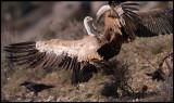 Fighting Griffon Vultures (Gåsgamar)
