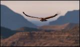 Early bird Griffon Vulture flying at dawn (Gåsgam)