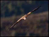 Red Kite (Glada)