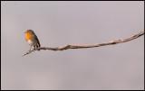 Robin (Rödhake) - Spain