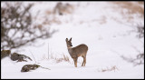 Lots of snow in Ottenby 2 days ago - Deer