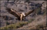 Landing Griffon Vulture (Gåsgam)
