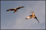 Acrobatic Red Kites