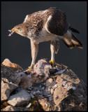Male Bonelli`s Eagle (Hökörn hane)