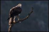 Male Bonelli`s Eagle (Hökörn hane) leaving after eating