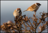 Tree Sparrows (Pilfinkar) - Torekov