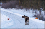 Here I am..... and where are the deers? Moose - Lapland