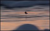 Dipper (strömstare) at dusk - Kalixälven / Lapland
