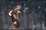 Golden Eagle (Kungsörn 3k) - Store Mosse Sweden