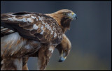 Golden Eagles (Kungsörnar) Fox & Foggy, 10 and 11 years old / Store Mosse - Sweden