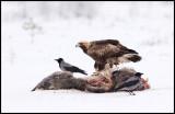 Golden Eagle (Kungsörn 3k) on Wild Boar carcass / Store Mosse - Sweden