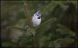 Crested Tit (Tofsmes) - my favourite bird.....