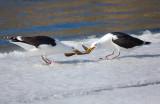 Eel tug of war Two Greater Black-backed Gulls fighting - (Havstrutar i dragkamp om en ål) - Mörbylånga