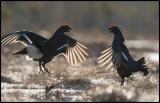 Black Grouse lekking fight