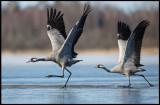 Cranes (tranor) running on ice / water - Lidhemssjön