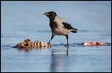 Hooded Crow on frozen carrion (Gråkråka) - Lidhemssjön