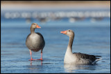 Trying to break the ice - Greylag Geese at Lidhemssjön