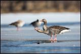 Greylag Geese drinking - Lidhemssjön