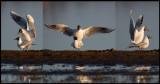 Mating season begins - Black-headed Gulls at Trönninge Halmstad