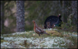A female Capercaillie appears at the lekking place