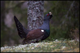 Capercaillie displays at the lekking place - Västmanland Sweden