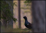 A male Capercaillie deep in the forest - Västmanland