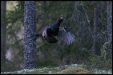 Capercaillie jumping trying to attract a female - Västmanland