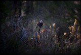 Capercaillie in wild Rosemary - Västmanland