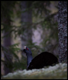 Male Capercaillie display - Västmanland