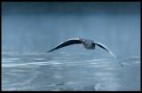 Greylag Goose (Grågås) - Trönninge