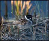 Common Reed Bunting (Sävsparv) - Trönninge