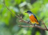 Leafbirds;Sunbirds and Flowerpeckers
