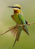Bee-eaters, Kingfishers, Roller and Hoopoe