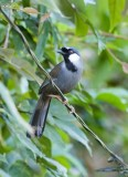 Black-throated Laughinthrush