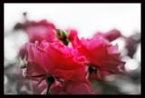 IMG_4891 Roses ...