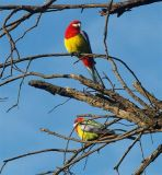 2 Eastern Rosellas