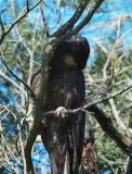 Yellow-tail Black Cockatoo stripping bark