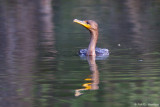 Feeding Cormorant 7
