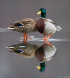 Ducks reflected