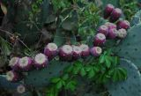 Cactus 1973