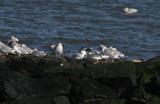 Adult Glaucous Gull (center)